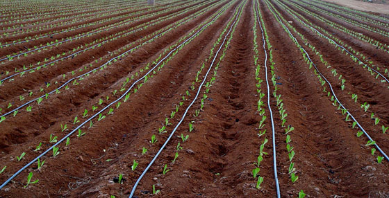 Drip irrigation fertilizing