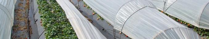Cultivo de fresas bajo plástico