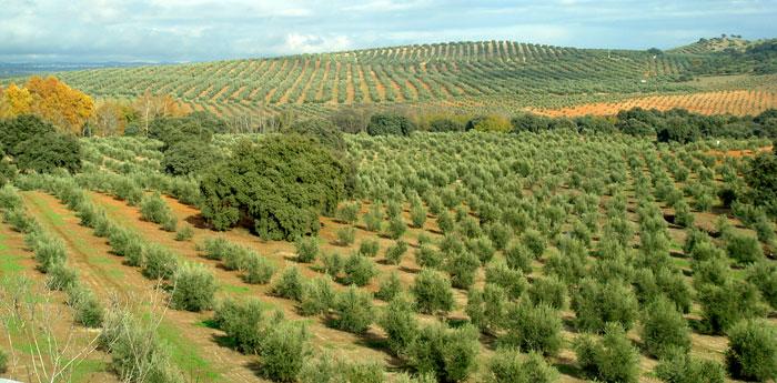 Fertilizantes con ácidos húmicos para el olivo